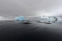 Группа антарктических китов Минке Ari S. Friedlaender, Oregon State University