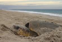 Гнездовье морских черепах  в Арчи Карр Национальный заповедник дикой природы в Мельбурне-Бич, штат Флорида. Фото J. Roger Brothers